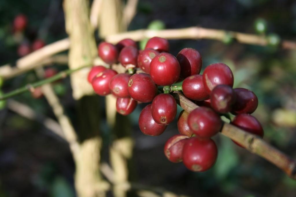 コーヒーチェリーの木