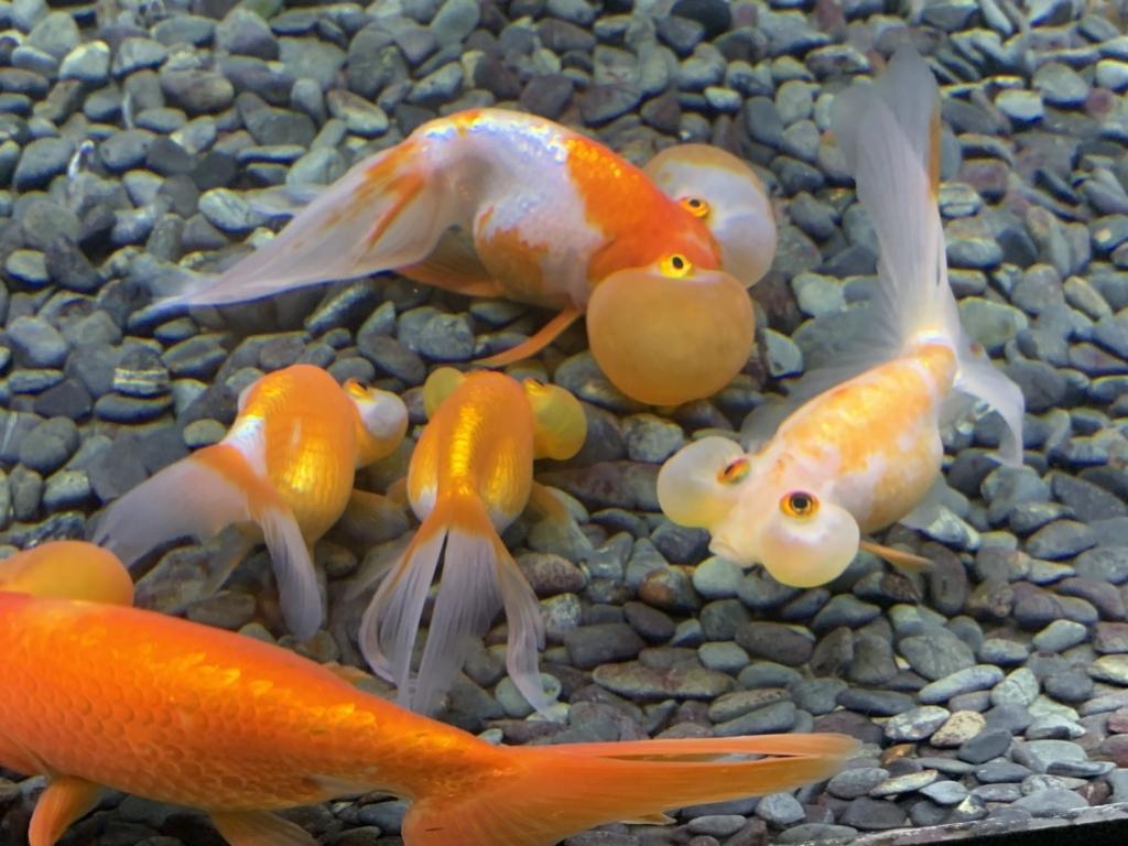 水槽を泳ぐ複数の金魚