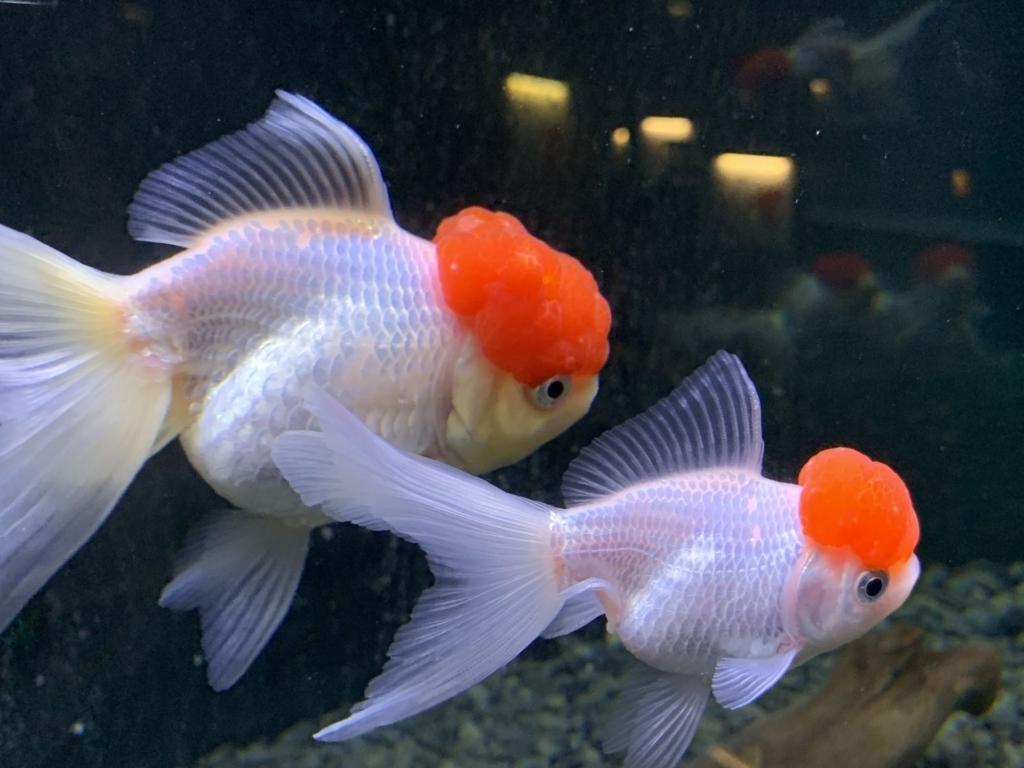水槽を泳ぐ2匹の金魚